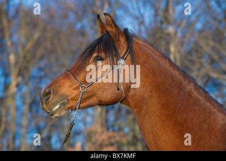 Beautiful Arabian horse in late evening golden light, head shot of purebred bay mare in winter coat. - Stock Photo