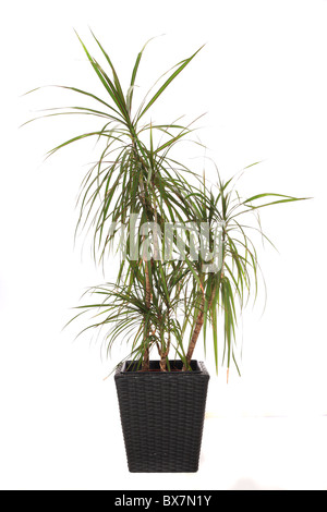 Standard indoor plant dracaena marginata, also called dragon tree. All on white background - Stock Photo