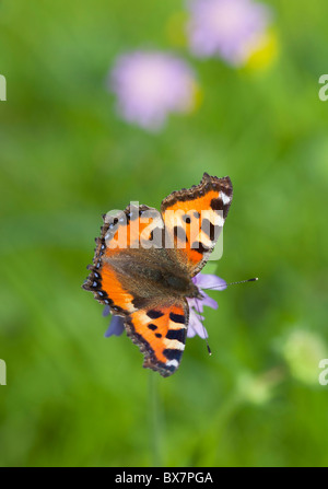 Small tortoiseshell (  Aglais urticae , Nymphalidae , Nymphalinae ) butterfly sucking nectar from a thrift ( Armeria - Stock Photo