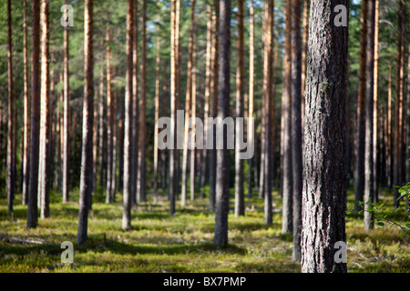 Finnish pine forest ( pinus sylvestris ) growing in dry  heath or esker , Finland - Stock Photo