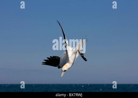 Gannet - Morus bassanus - diving for fish - Stock Photo