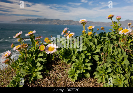 Seaside fleabane, Beach aster, or Seaside daisy Erigeron glaucus in native habitat on cliffs, San Francisco Bay, California.