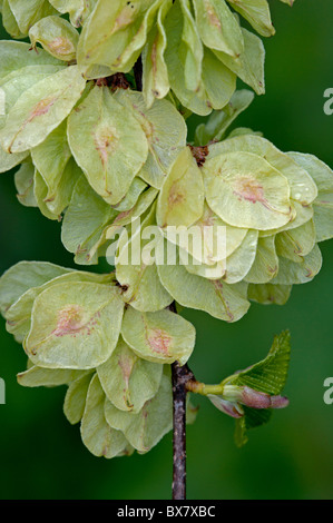 Whych Elm (Ulmus glabra), fruits Stock Photo