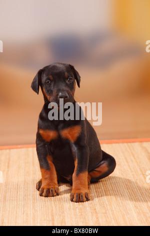 Dobermann Pinscher, puppy, 5 weeks - Stock Photo