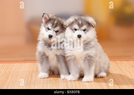Alaskan Malamutes, puppies, 6 weeks - Stock Photo