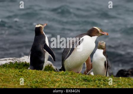 Yellow-eyed penguins, an endangered species breeding on Subantarctic Enderby Island, New Zealand - Stock Photo