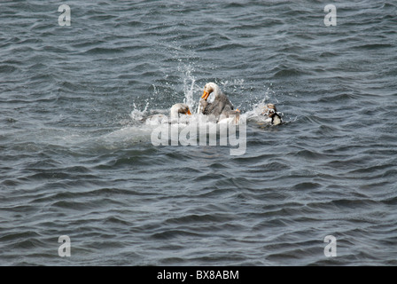 Two male Falkland Islands flightless steamer ducks (Tachyeres brachypterus), fighting in the water, Carcass Island, - Stock Photo