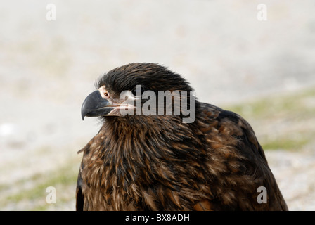 Striated caracara (Phalcoboenus australis) or 'Johnny Rook' - Stock Photo