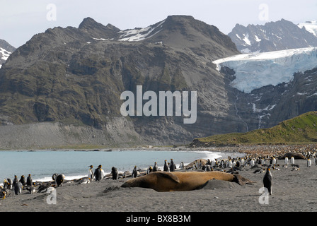 King Penguins and a huge male elephant seal, mountains and glaciers, Gold Harbour, South Georgia - Stock Photo