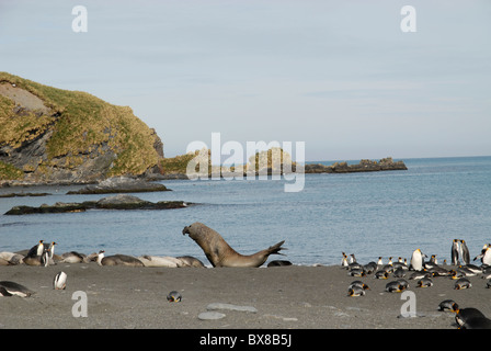 Elephant Seals and King Penguins at the beach, Gold Harbour, South Georgia - Stock Photo
