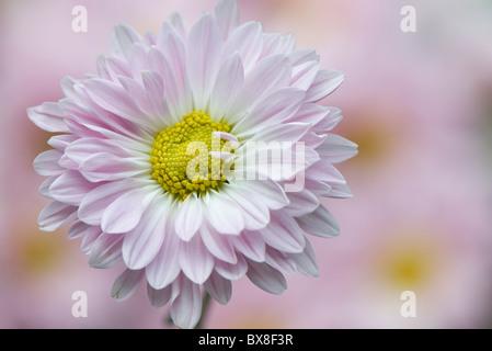 A single English Daisy Flower - Bellis perennis