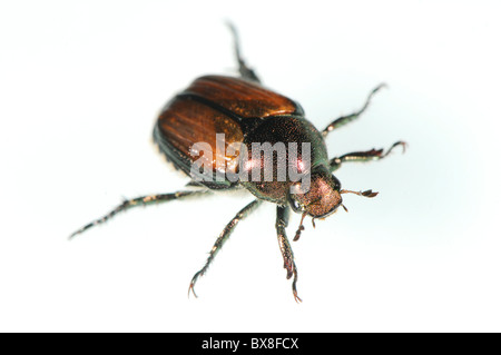 Japanese beetle,  Popillia japonica - Stock Photo