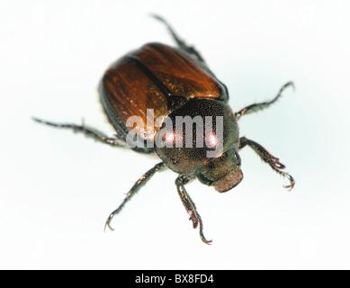 Japanese beetle,  Popillia japonica - Stock Photo