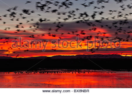 A large flock of snow geese (Chen caerulescens) lifts off from a pond in the Bosque del Apache National Wildlife - Stock Photo