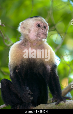 White-headed capuchin monkey in the Manuel Antonio National Park in Puntarenas province, Costa Rica. - Stock Photo