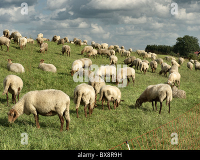Flock of sheep grazing on a dike of the river Elbe near Tespe, Elbmarsch, Niedersachsen, Germany. - Stock Photo