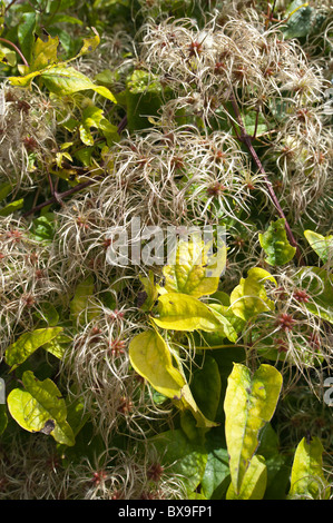 Old mans beard attractive climber wispy fluffy soft seed heads slender feathery thread  wind dispersal - Stock Photo