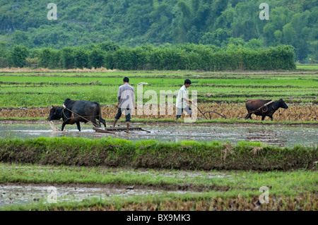 People working in paddy fields harvesting rice with buffaloes, Yangshuo, Guangxi, China. - Stock Photo