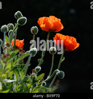 Vibrant red Oriental Red poppies - Papaver Orientale image taken against a black background - Stock Photo