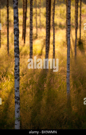 View of group of young birch ( betula ) trees at evening sun - Stock Photo