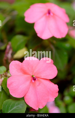 Pink Impatiens in flower close up England, UK - Stock Photo