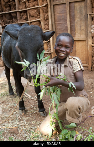 A boy feeds his family's cow in Buwanyanga Village - Sironko, Eastern Uganda, East Africa. - Stock Photo