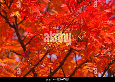 Yellow Rowan tree in Autumn, Fife, Scotland, August 2010 - Stock Photo