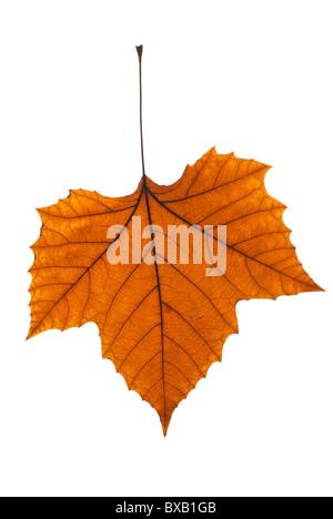 autumn plane tree leaf on (pure) white background - Stock Photo