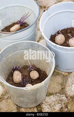 Potatoes in buckets - Stock Photo