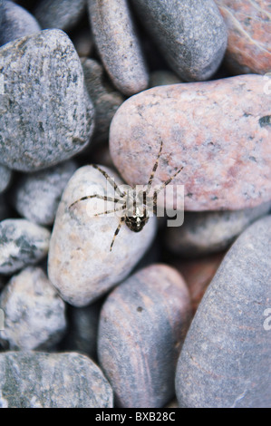 Close-up of spider on pebbles - Stock Photo