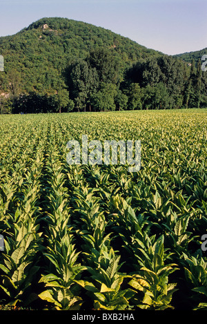 Tobacco plants in a field beneath mountain, Lot Valley, Cahors, France. - Stock Photo