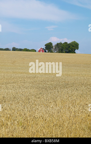Wheat field and farm house in distance - Stock Photo