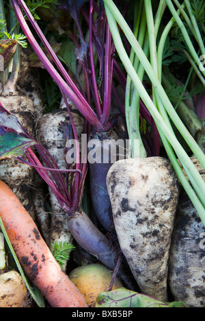 Heap of fresh vegetables: carrots, beetroots and parsnips - Stock Photo