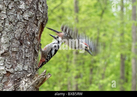 White-backed woodpeckers perching on tree, close-up - Stock Photo