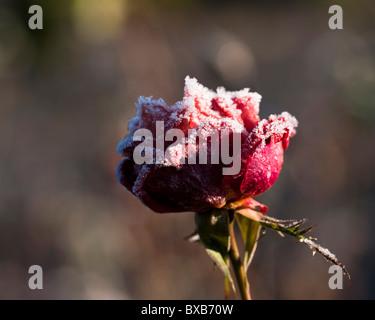 Frozen Rosa Malcolm Sargent 'Harwharry' in the Queen Mother's Rose Garden at RHS Rosemoor in winter - Stock Photo