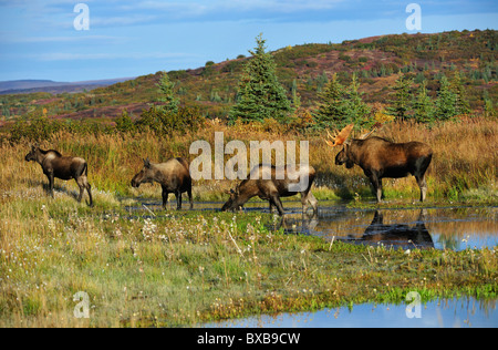Moose (Alces alces), bull, young bull, cow and calf during rut, Denali National Park, Alaska - Stock Photo