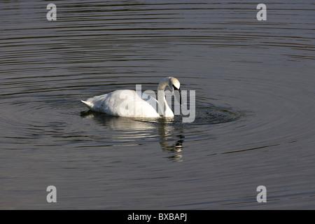 Trumpeter Swan (Cygnus buccinator), swimming in a beaver pond, looking for food, Denali National Park, Alaska - Stock Photo