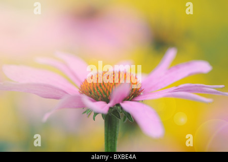 A single Echinacea purpurea flower with Sun Flare - Lens Flare - Stock Photo