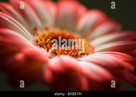 Close-up of a red tipped Gerbera Daisy - Gerbera jamesonii - Stock Photo