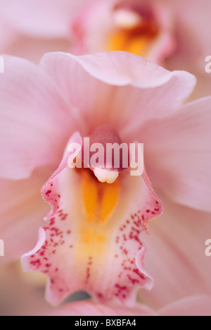 Close-up of a single pale pink Cymbidium flower - orchid - Stock Photo