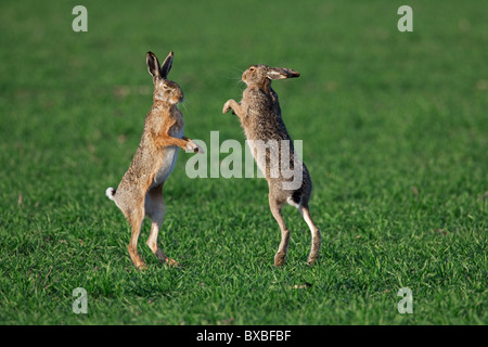 European Brown Hares (Lepus europaeus) boxing / fighting in field during the breeding season, Germany - Stock Photo