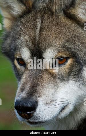 Greenland dog (Canis lupus familiaris), sledge dog, Ilulissat, West-Greenland, Greenland - Stock Photo