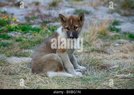 Greenland dog (Canis lupus familiaris), sledge dog pup, Ilulissat, West-Greenland, Greenland - Stock Photo