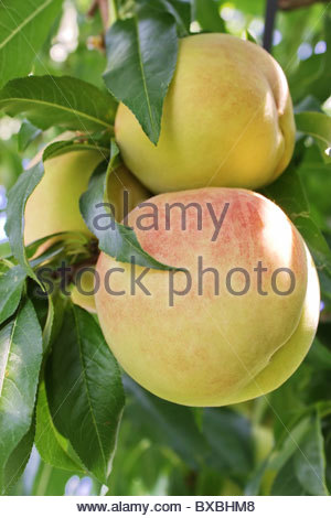 peach on a branch - Stock Photo