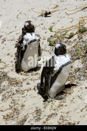 Moulting African, Black-footed or Jackass Penguins, Spheniscus demersus, Spheniscidae. Boulders Bay, Cape Peninsular. - Stock Photo