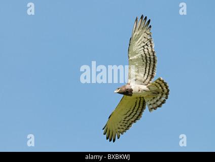 Black-breasted Snake Eagle - Stock Photo