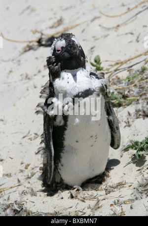Moulting African, Black-footed or Jackass Penguin, Spheniscus demersus, Spheniscidae. Boulders Bay, Cape Peninsular. - Stock Photo