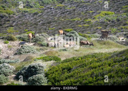 A Group of Eight Common or Southern Eland, Taurotragus oryx, at Cape Point, Cape Peninsular, South Africa. - Stock Photo