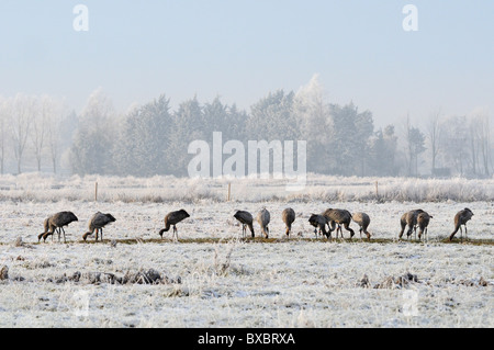 Flock of juvenile Common / Eurasian cranes (Grus grus) foraging for grain scattered for them on frozen, snow covered - Stock Photo