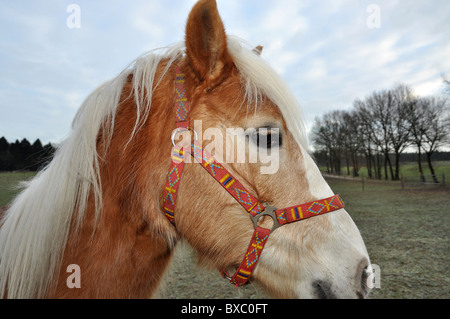 Brown horse with beautiful white mane and colorful halter - Stock Photo